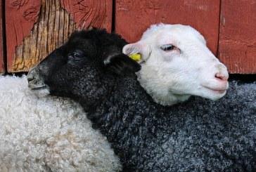 Избор на овце за разплод