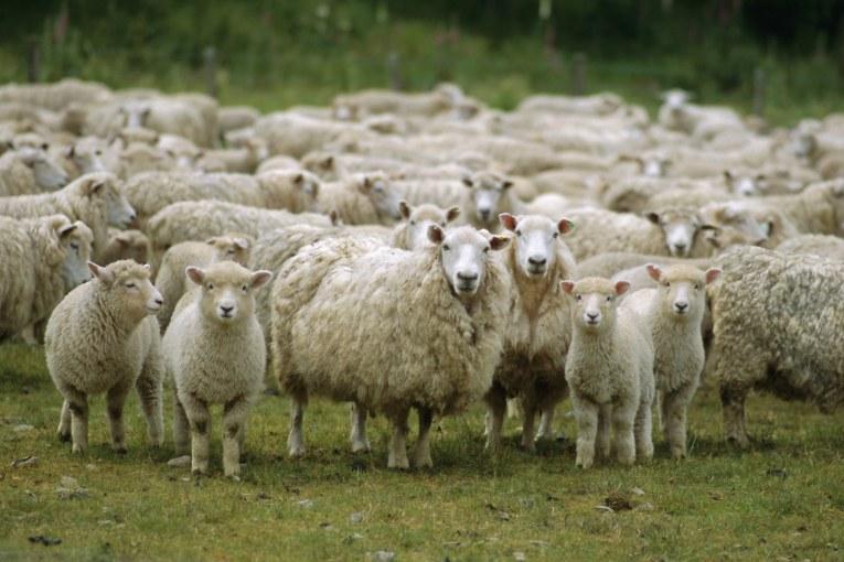 овце на паша