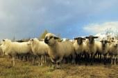 Породи овце, отглеждани в България