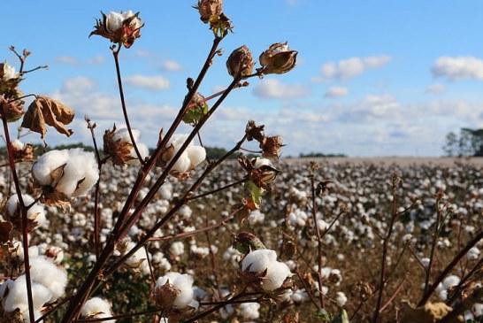 Нови сортове памук