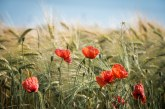 Вижте сроковете за подаване на декларациите за налично и преработено зърно