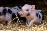 Правилно подхранване на прасета