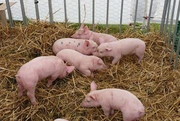С датски инвестиции изграждат свинекомплекс в община Ружинци