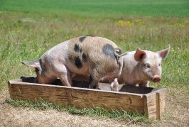 Технологии на хранене в свиневъдството