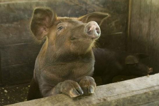Заразни болести по свинете