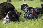 Породи пуйки със стопанско значение