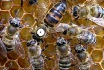 Придаване на оплодената пчелна майка без клетки