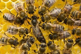Начини на придаване на оплодена пчелна майка