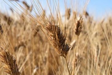 Пшеничните посеви в Североизточна България са под заплаха (ВИДЕО)
