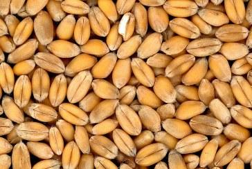 Твърда пшеница – борба с неприятелите, напояване, икономическа ефективност