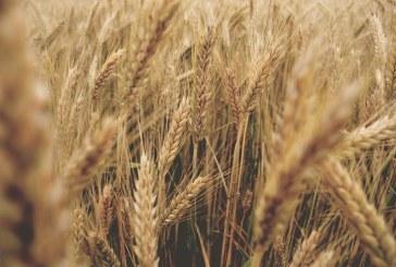 Огън изпепели 100 декара пшеница в Добричко