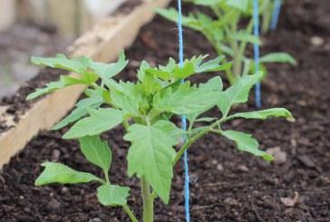 Производство на разсад при отглеждането на ранни домати в полиетиленови оранжерии