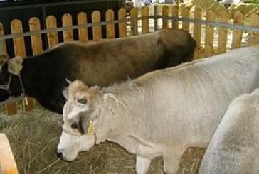 Родопско късорого говедо