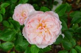 49 % от заявените площи с маслодайна роза по СЕПП са в област Стара Загора