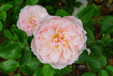 Маслодайна роза – създаване на насаждения и отглеждане