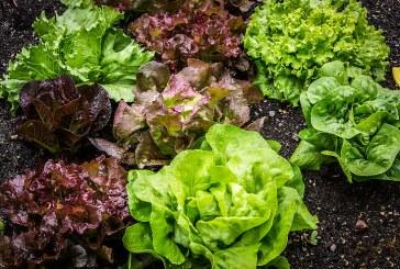 Целогодишно производство на салати