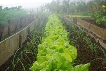 Зимно отглеждане на салати и марули