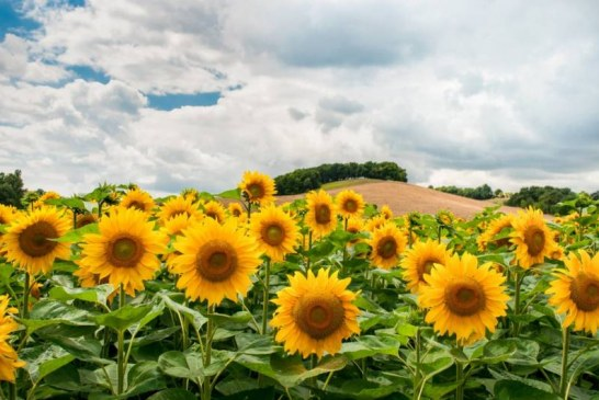 Ефикасна борба с плевелите при слънчогледа и царевицата