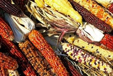 Технология за отглеждане на царевица