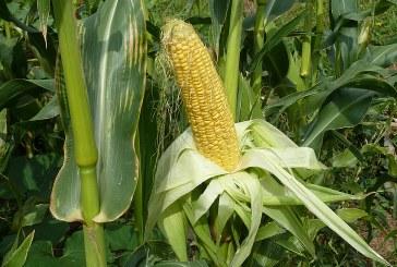 Контрол на важните болести и неприятели по царевицата и слънчогледа