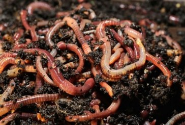 Какво е необходимо за отглеждането на червен калифорнийски червей?