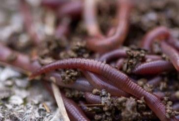 Отглеждане на червен калифорнийски червей