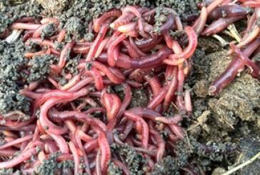 Болести и неприятели на Червения калифорнийски червей