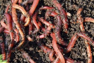 Технология за отглеждане на червени калифорнийски червеи