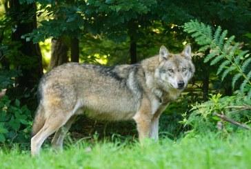 Вълци нападат села край Благоевград