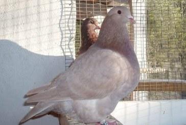 Популярна порода гълъби вече се отглежда и у нас