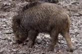 Продължава изграждането на капани за улов на диви свине