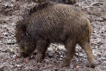 Съмнения за африканска чума по свинете и край Монтана