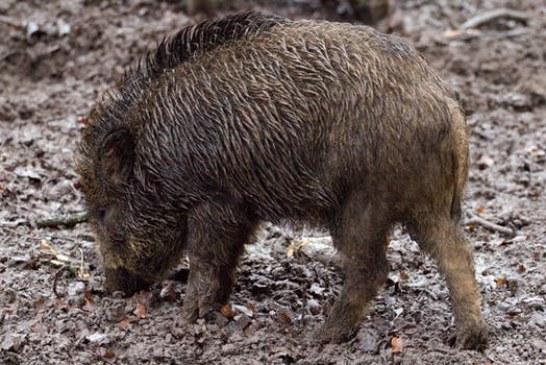 Бодлива тел по границата ще ни пази от навлизането на диви свине