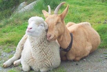 Предпазване на кози и овце от заразни и паразитни болести