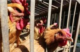 Птичи грип в Асеновград – умъртвяват над 28 000 кокошки