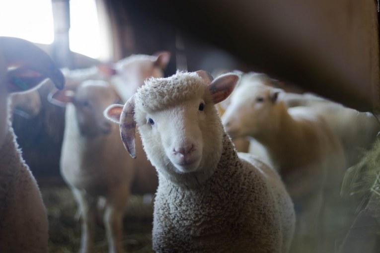 Не пускат ветеринарите да вземат повторна проба от вторичното огнище на чума