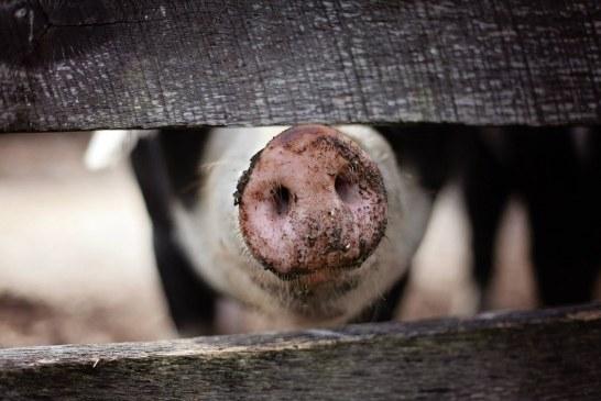 В Силистренско стопани вече са умъртвили прасетата си