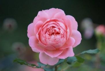 МЗХГ проведе Консултативен съвет по маслодайна роза