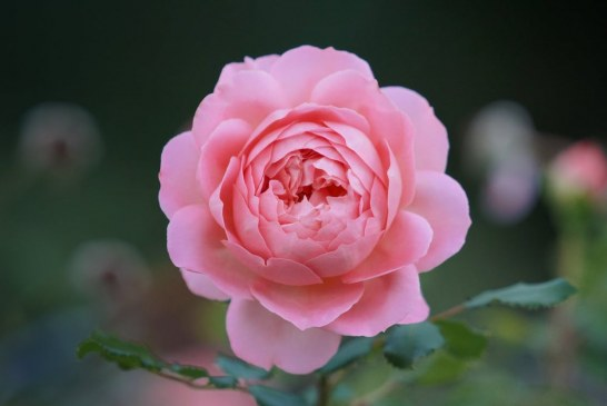 Български рози отглеждат чак в Афганистан