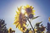 До 290 кг/дка слънчоглед прибраха стопаните в Каварна