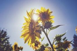 Слънчогледът в Сливенско понася добре валежите