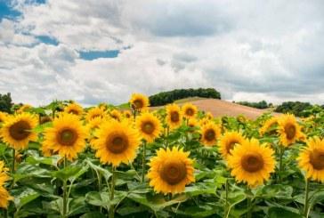 По-нисък е средният добив на слънчоглед в Добричко