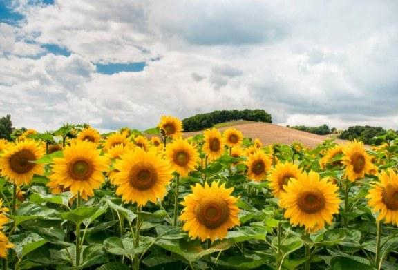 Какво се случва с добивите на слънчоглед