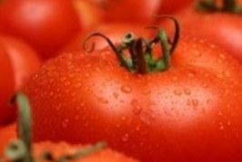 Високи са отчетените добиви на домати към момента