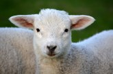 3,5 млн. лв. се отпускат за реализация на родното производство на агнешко месо