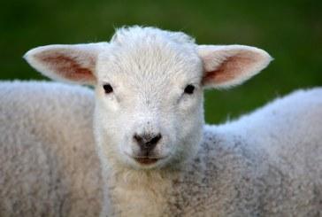 Официалните ветеринарни лекари ще извършват преглед на закланите агнета във фермите