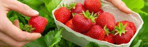 ръчно бране на ягоди