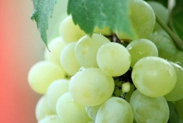 Земеделски производител изхвърля тонове грозде за ракия вместо да ги достави по схемата за училищен плод