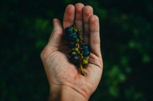 грозде в ръка