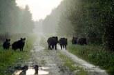 Три нови огнища на АЧС са потвърдени в Русенско